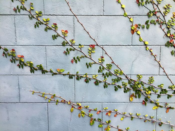 Creeping Fig Creeping Vine Ficusvine Pumila Smart Simplicity RePicture Growth