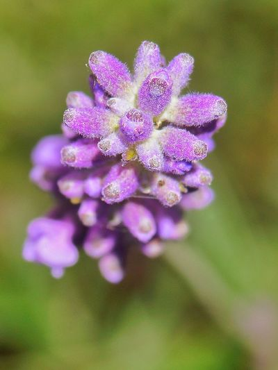 Lavendel ..... Eyeemphotography Fotografie Fotografia Blume Nopeople EyeEmNewHere EyeNatureLover Flora Macro Flower Head Flower Herbal Medicine Purple Petal Uncultivated Close-up Plant Lavender Colored Lavender Wildflower