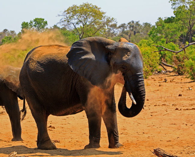 Animals In The Wild Animal Wildlife Safari Wildlife & Nature Hwange National Park Zimbabwe Southern Africa Travel Destinations Vacations Plains Savannah Outdoor Photography Mammal Wilderness Beauty In Nature Elephant Big Five Pachyderm Scenics - Nature Spraying Dust On Back