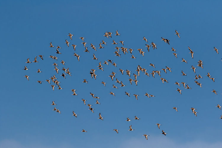flock of migrating Black-tailed Godwits Aguja Colinegra Barge à Queue Noire Black-tailed Godwit Limosa Limosa Uferschnepfe Animal Themes Animal Wildlife Animals In The Wild Beauty In Nature Bird Blue Clear Sky Flock Of Birds Flying Large Group Of Animals Mid-air Migrating Nature No People Outdoors Sky Togetherness