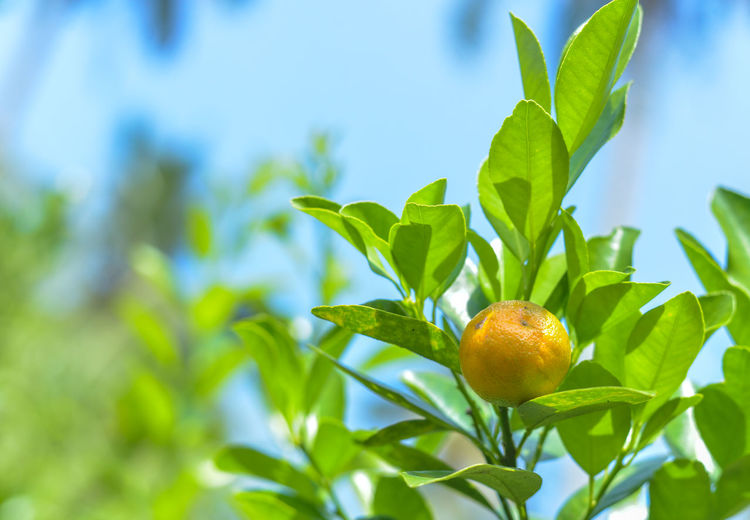 green calamondin lime Beauty In Nature Close-up Day Focus On Foreground Food Food And Drink Freshness Fruit Green Color Growth Healthy Eating Leaf Nature No People Outdoors Plant Plant Part Ripe Sunlight Tree Wellbeing