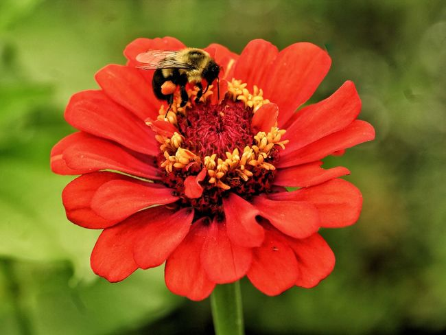 Beauty In Nature Zinnia  Focus On Foreground Bee Red Flower Close-up