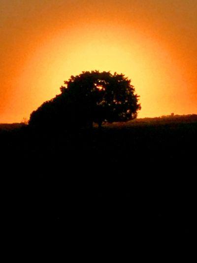 A big ficus tree Ficus Ficus Microcarpa