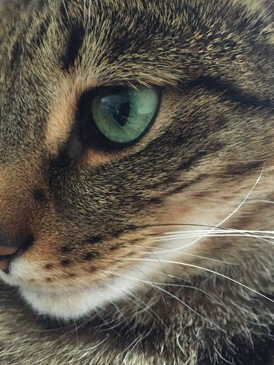 Cat Cat Eye Eye Close-up Close Up Domestic Cat One Animal Extreme Close-up Whisker Pet Feline Animal Themes Animal Head  Animal Hair No People