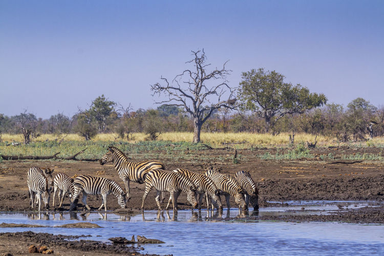 Zebras drinking water from lake against clear sky