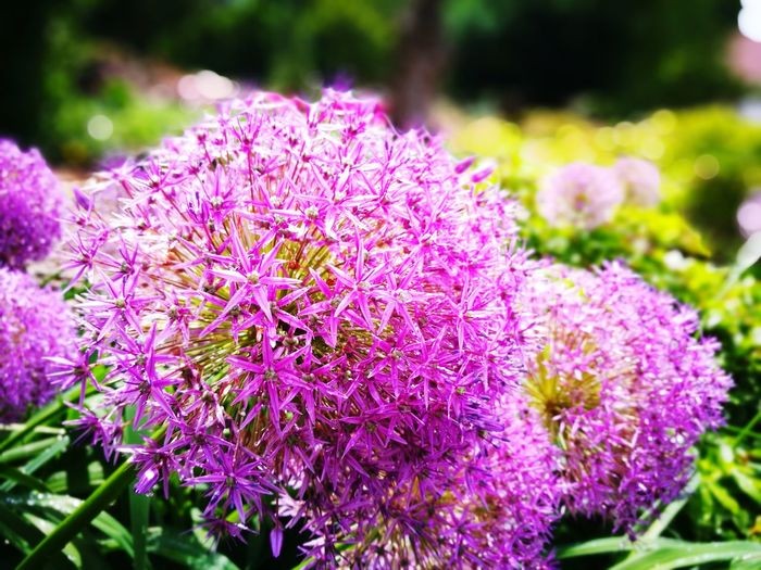 Poland Arboretum Uwr Flower Purple Plant Nature Beauty In Nature Pink Color Outdoors No People Day Landscape Flowerbed Fragility Flower Head Close-up Freshness Leica Dual Camera HuaweiP9