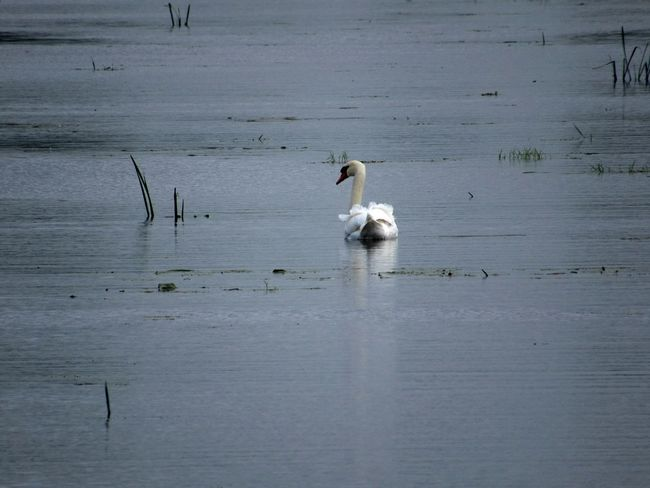 Animals In The Wild Animal Wildlife Water Reflection Bird No People Animal Themes Swimming Mammal Beauty In Nature Somerset Levels Uk Swan On River