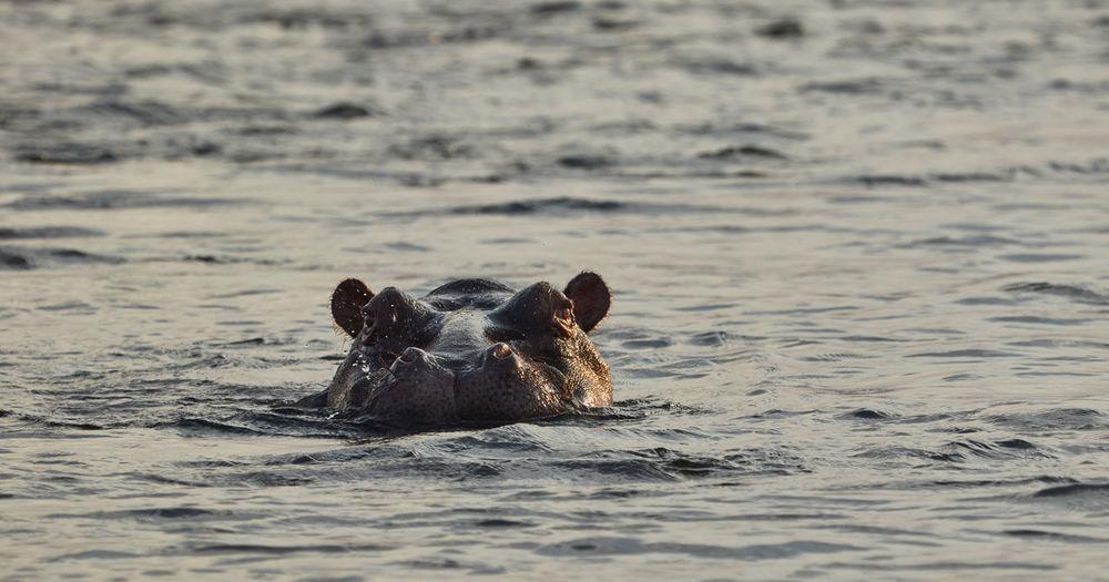 Swimming Hippo in Namibia Animal Animal Wildlife Animals In The Wild Day Ears Hippo Hippopotamus Mammal Namibia Nature No People Okavango River Outdoors Outdoors Photograpghy  River Sea Sea Life Sunset Swimming Water Wild Wildlife Wildlife & Nature Wildlife Photography
