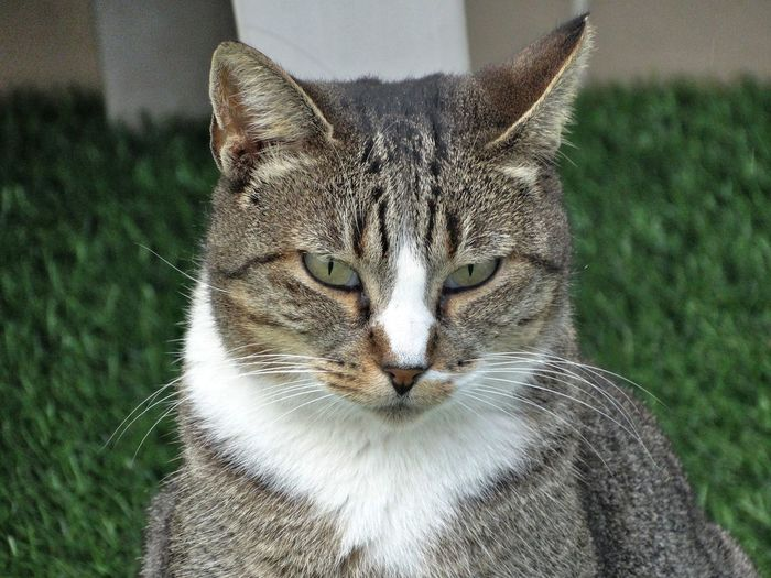 Cat looking at camera. Animal Themes Animal Mammal One Animal Cat Feline Pets Domestic Animals Close-up Focus On Foreground Portrait Domestic Domestic Cat Grass Vertebrate No People Day Whisker Front View Looking At Camera Animal Head  Animal Eye Tabby Kitty
