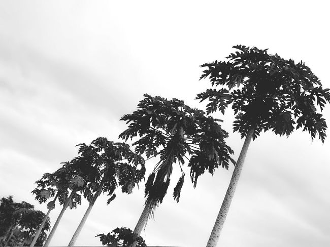 Nature Papaya Tree Papaya Collection Papaya Leaf