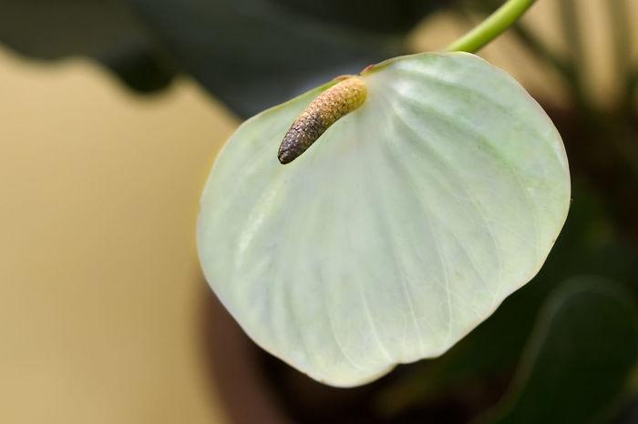 White Anthurium Close-up Flower Head Nature Botany