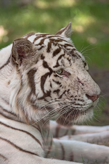 White tiger relaxing on field