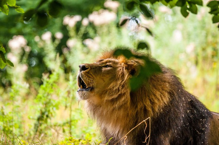 Roaring lion in green nature Male Lion Roaring Animals In The Wild One Animal Animal Themes Wildlife Mammal Focus On Foreground Day Animal Wildlife Nature No People Forest Outdoors Tree Close-up