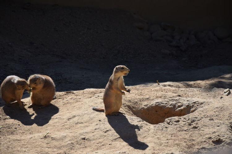 EyeEm Selects Desert Beach Sand Sand Dune Shadow Meerkat Sunlight Togetherness Full Length