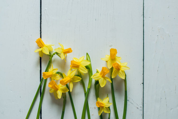 Close-up of yellow daffodil against white wall