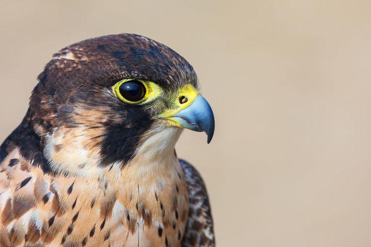 Close-up of a eleonora falcon - falco eleonorae