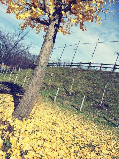 I just realized Theend of Autumn because of Fallen Leaves . And Winter is really here. 2015  is almost over. I feel Lonely 😢 Autumn Leaves Leaves Leaves_collection Fall_collection Yellow Leaves Wintercoming TooCold Outside Japan Photography Japan Scenery In Japan Taking Photos Landscape Relaxing LoveNature