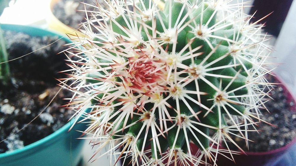 кактус красныйкактус Иголки