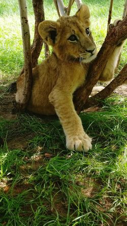Animal Themes Day Nature Beauty In Nature Lion - Feline Nursery Young Animal Reserve Naturelle Senegal Animals In The Wild Animal Wildlife One Animal Outdoors No People Green Color 🦁