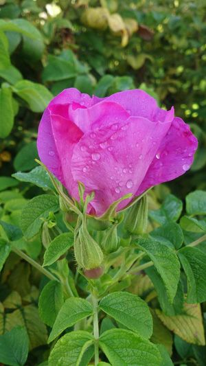 New born Flower Flower Head Rose - Flower Beauty In Nature Nature Pink Color Focus On Foreground Single Flower Beautiful Nature Beauty Around Us