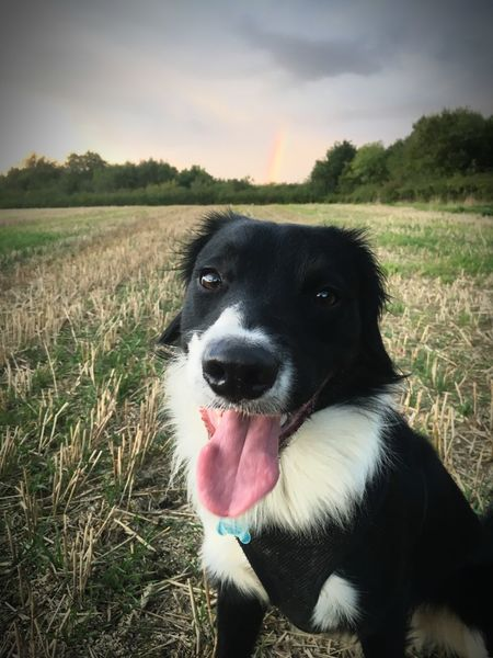 Parker at the end of a rainbow Rainbow One Animal Canine Dog Mammal Pets Domestic Domestic Animals Field Land Sticking Out Tongue Nature Grass Facial Expression