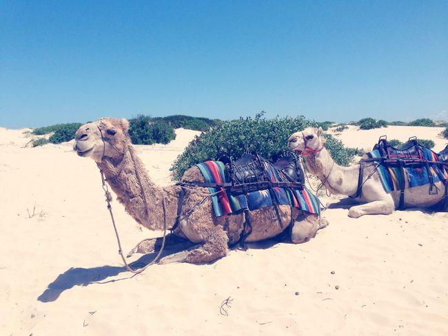 Hi! Camel Enjoy Life Australian Outback
