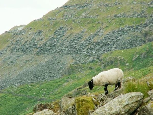 The Lakes District, UK. July 2015. Lakesdistrict Steep Hill Rugged Beauty Rugged Terrain Sheep SheepPorn Farm Animals