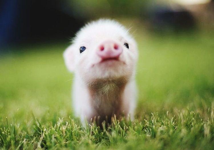 Pig Hello World Check This Out thats a pig little Cute Scute Awww ?????