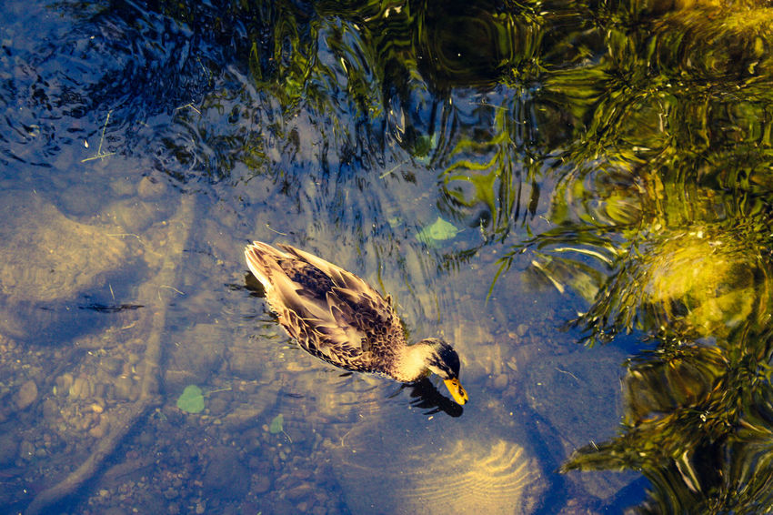 Beauty In Nature Day Ducc Face!! Ducck Po Ducck Pond Duck Face Ducks Leaves🌿 Nature Outdoors Photography Pond Life Popular Photos Tranquility Water Reflections
