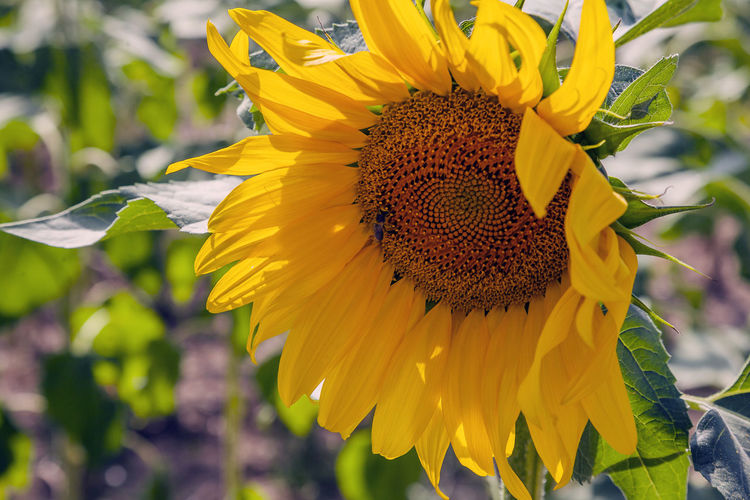 Yellow Flower Flowering Plant Flower Head Fragility Vulnerability  Petal Plant Beauty In Nature Growth Freshness Inflorescence Close-up Sunflower Pollen Invertebrate Focus On Foreground Nature Insect Animals In The Wild No People Outdoors Pollination