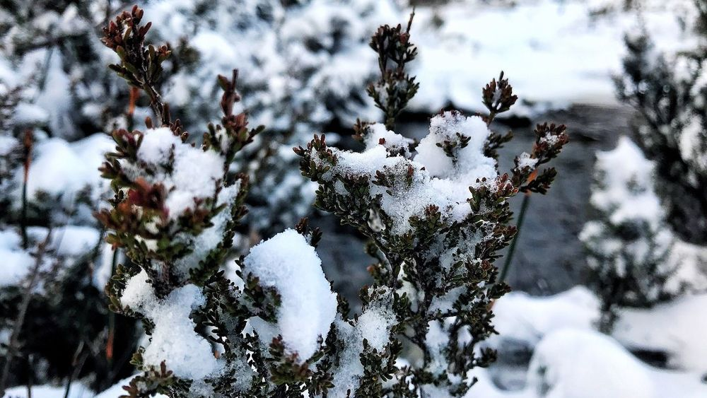 EyeEm Selects Winter Snow Cold Temperature Nature Weather Tree Frozen Outdoors No People White Color Pine Tree Beauty In Nature Day Pinaceae Forest Snowing Branch Close-up Spruce Tree Snowflake Tasmania