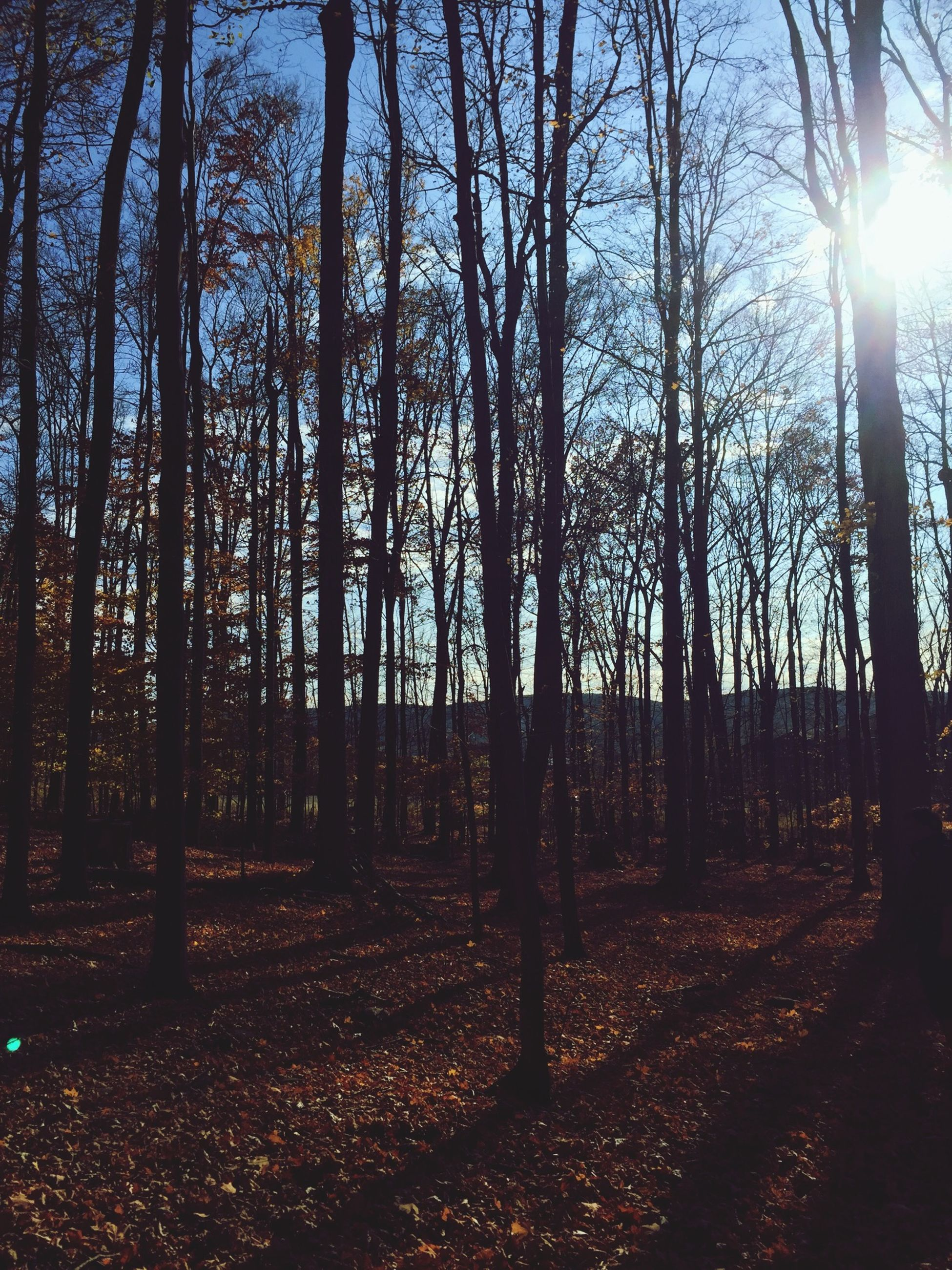 tree, sun, sunbeam, sunlight, tranquility, tree trunk, tranquil scene, nature, lens flare, growth, beauty in nature, scenics, forest, woodland, back lit, landscape, non-urban scene, sunny, branch, field