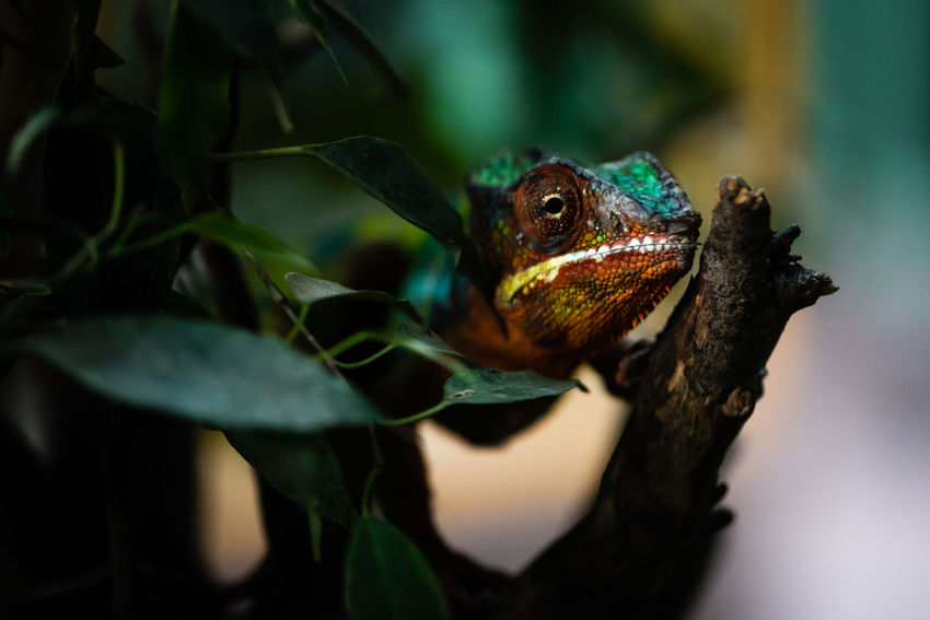 One Animal Reptile Animal Wildlife Lizard Animals In The Wild Chameleon Animal Themes Nature Iguana Camouflage Beauty In Nature The Week On EyeEm First Eyeem Photo Animals Wild Reptiles Wildlife Nature Fine Art Fineart Zoo Zoology Terrazoo Close-up Lurking