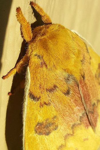 Texasmoth Moth Hairy