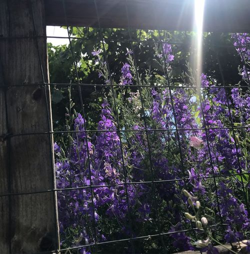 Purple flowering plants by fence against bright sun