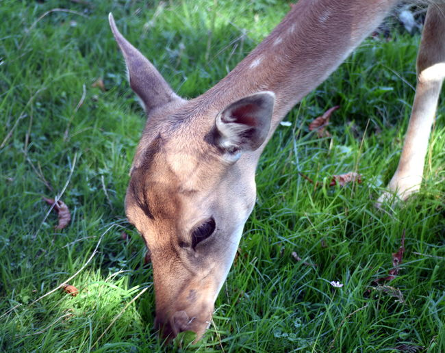 Animal Animal Head  Animal Themes Close-up Deer Grass Herbivorous Mammal Nature Outdoors