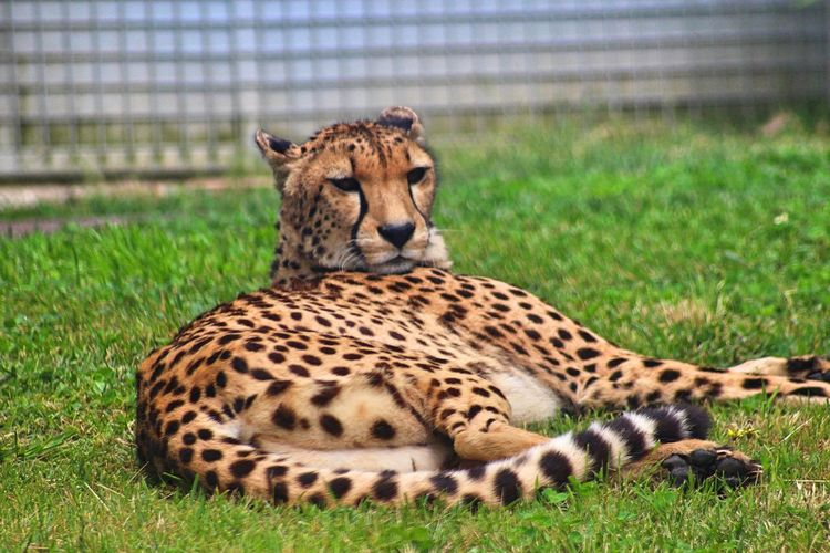 Cheetah resting on grassy field in zoo