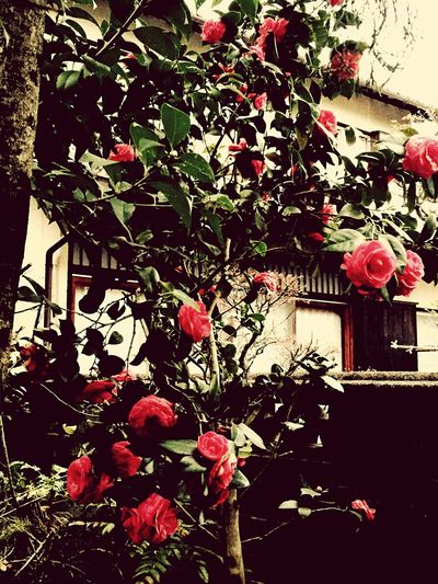 Roses Flowers Vintage Streetphotography Decadence Classic Old Camelia nobody lives,vacancy Vacances