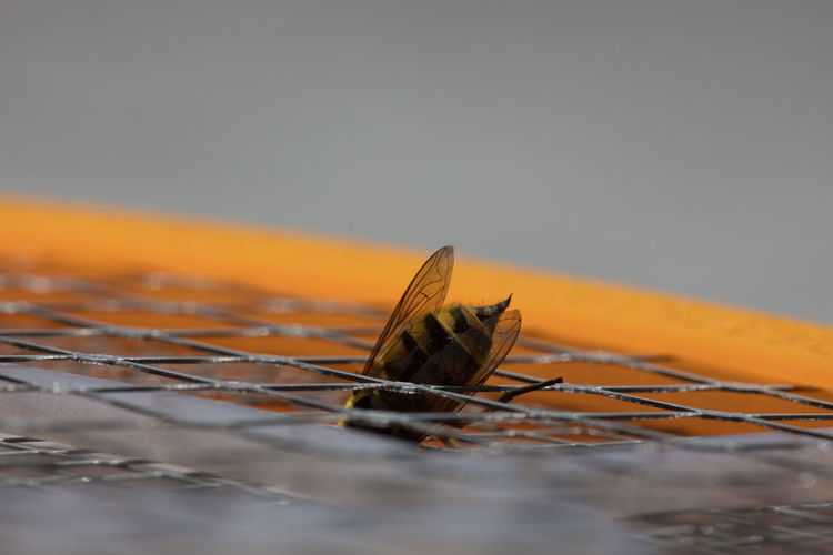 Close-Up Of Honey Bee On Metal