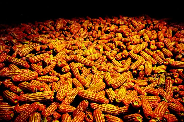 the corn on the back background. Food Raw Corn Back Backgrounds Harvest Harvesting Harvest Season Rain Season  End Next Season Orange Color Copy Space Space For Text Farm Countryside Lifestyles Light And Shadow Dark Dark Tones Thailand Backgrounds Pattern Textile Close-up Corn On The Cob Corn - Crop Cereal Plant
