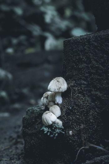 Close-up of mushroom growing on rock