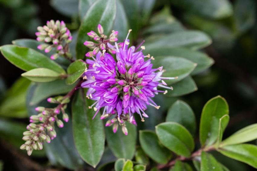 Green Color Beauty In Nature Close-up Flower Flower Head Leaf Purple Veronica Speciosa