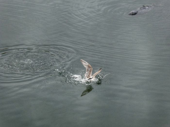 Gulls fighting over a fish, with Seal lurking Seagull Seal Stornoway Travel Photography Scotland VisitScotland Water No People Animal Sea Animal Themes High Angle View Nature Day Animal Wildlife Animals In The Wild Beauty In Nature Outdoors Tranquility Rippled Vertebrate Scenics - Nature Aerial View Marine