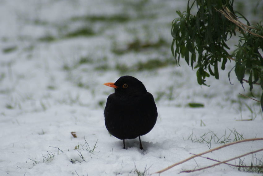Animal Themes Animal Wildlife Animals In The Wild Beauty In Nature Bird Black Color Blackbird Close-up Cold Temperature Day Nature No People One Animal Outdoors Snow