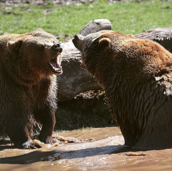 Brown bears fighting Bears Brown Bear Brown Bear 🐻 Brown Bears Fighting Prilaga Ours Ours Brun Strong Puissance Power In Nature Power Wild Wildlife & Nature Water Bear