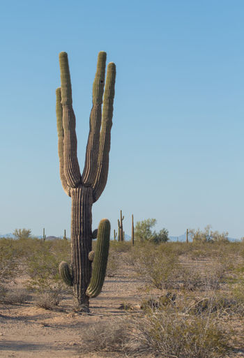 Cactus growing on field against clear sky