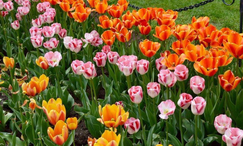 Happy Tulip Festival 2016 Albany NY Nikonphotography Nikon Capture The Moment New York State Upstate NY Albany New York Flowers On A Nice Day Nature