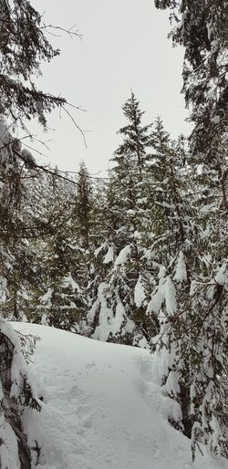Nature Tree Snow Cold Temperature Mountain Winter Forest Pinaceae Pine Tree Sky Landscape Snowcapped Mountain