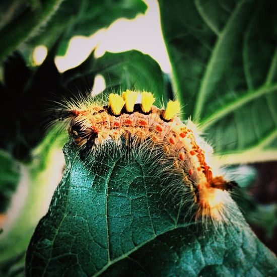 Funny looking caterpillar Insect Photography Caterpillars  Animals Macro Photography Macro Insects Macrophotography Macro Nature