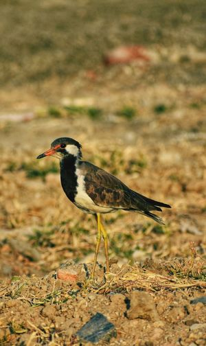 Red-wattled